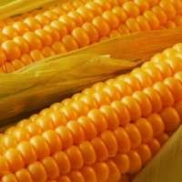 Corn ETF Looks to Breakout