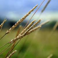 Wheat ETF Hits New Low on a Bumper Crop Year