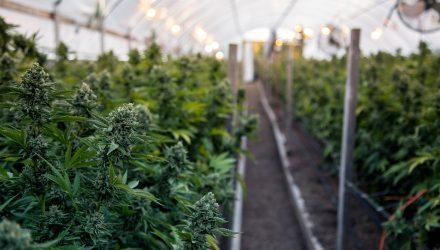 Rapid Growth Seen for Marijuana ETF