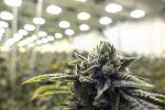 Analysts Say The Time To Invest In Marijuana Stocks Is When They Are Down