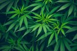 Get Ready, Another Cannabis ETF Lights Up