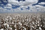 Cotton ETN Rallying on Supply Issues