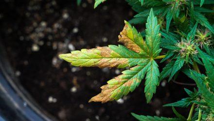 Marijuana ETFs Are Coming off Their High